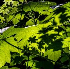 Shadow Maple